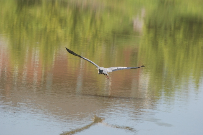Heron_Flight_774 x 518